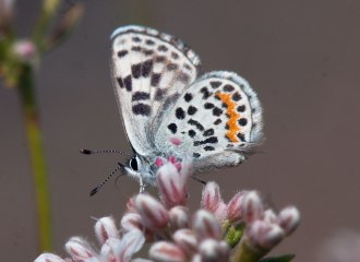 Bernardino Dotted-Blue Butterfly nectaring on California Buckwheat (Eriogonum fasiculatum)